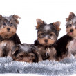 Yorkshire terrier — Stock Photo #9470128