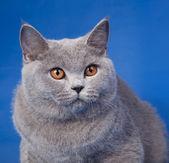 British kitten on blue backgrounds — Stock Photo