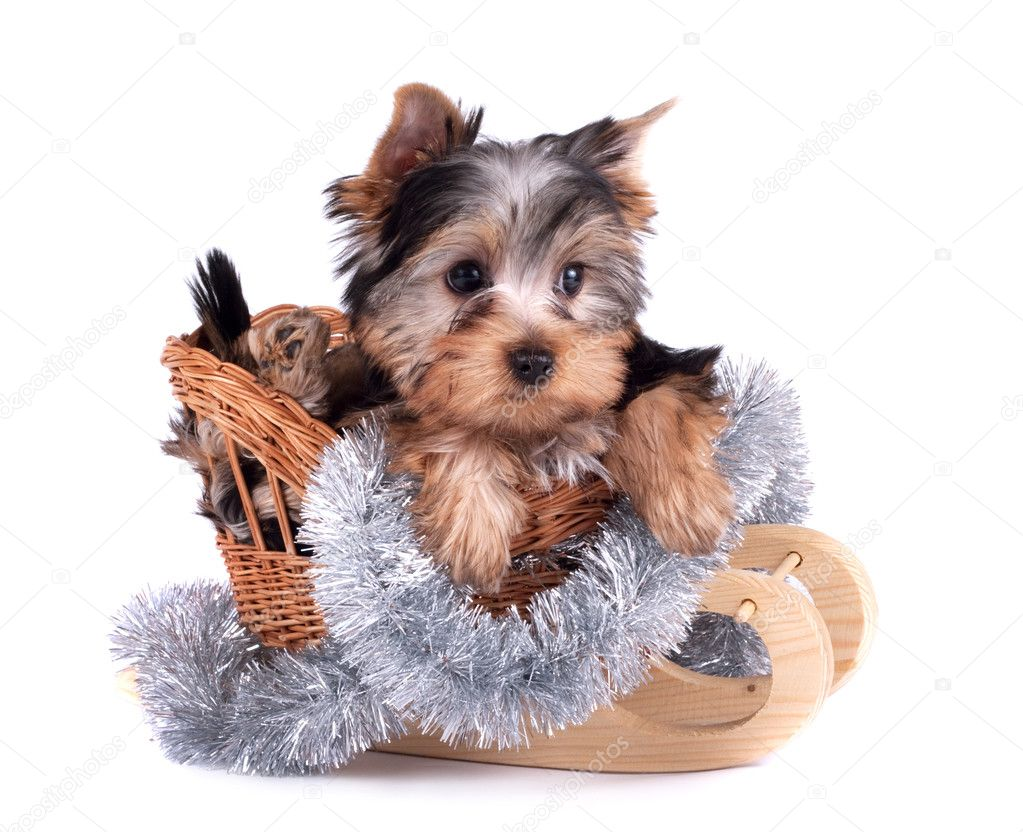 The Yorkshire terrier puppy on white background — Stock fotografie #9470108