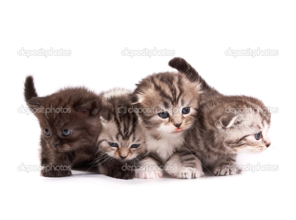 The Scottish fold kittens on white background — Stock Photo #9470172
