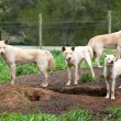 Group of Australian Dingos (Canis lupus dingo) — Stock Photo #8339776