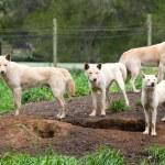 Group of Australian Dingos (Canis lupus dingo) — Stock Photo