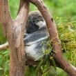 Stock Photo: Koalsleeping in tree