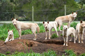 Group of Australian Dingos (Canis lupus dingo) — Stock Photo