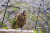 Kea Bird (Nestor notabilis) — Stock Photo