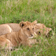 Two lion cubs lying on the grass in african savannah — Stock Photo