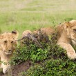 Two lion cubs lying on the grass in african savannah — Stock Photo #8472376