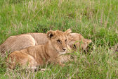 два льва детенышей, лежа на траве в африканской саванны — Стоковое фото