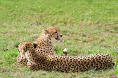 Two African Cheetahs lying on the grass, Masai Mara National Park, Kenya — Stock Photo