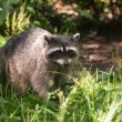 Raccoon in Stanley Park, Vancouver, Canada — Stock Photo #8719016