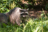 Raccoon in Stanley Park, Vancouver, Canada — Stock Photo