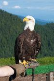 Bald Eagle. Bird of prey found in North America. Symbol of USA. — Stock Photo
