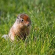 Columbian Ground Squirrel (Urocitellus columbianus) in the grass — Stock Photo