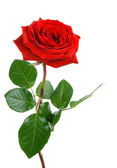 Perfekt röd ros på vit — Stockfoto