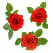 Set of three open red roses with leaves — Stock Photo