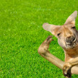 Funny humlooking kangaroo on lawn — Stock Photo #8625219