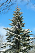 Snow-covered tall fir tree and blue sky — Stock Photo