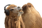 Camel with headphones singing passionately — Stock Photo