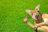 Funny human looking kangaroo on a lawn — Stock Photo