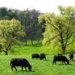 Idyllic green landscape with cows grazing — Stock Photo #8831374