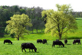 Idyllic green landscape with cows grazing — Stock Photo
