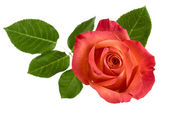 Top view of isolated red rose with leaves — Stock Photo