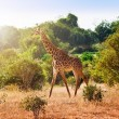Giraffe in the savanna — Stock Photo #9555871