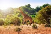 Giraffa nella savana — Foto Stock