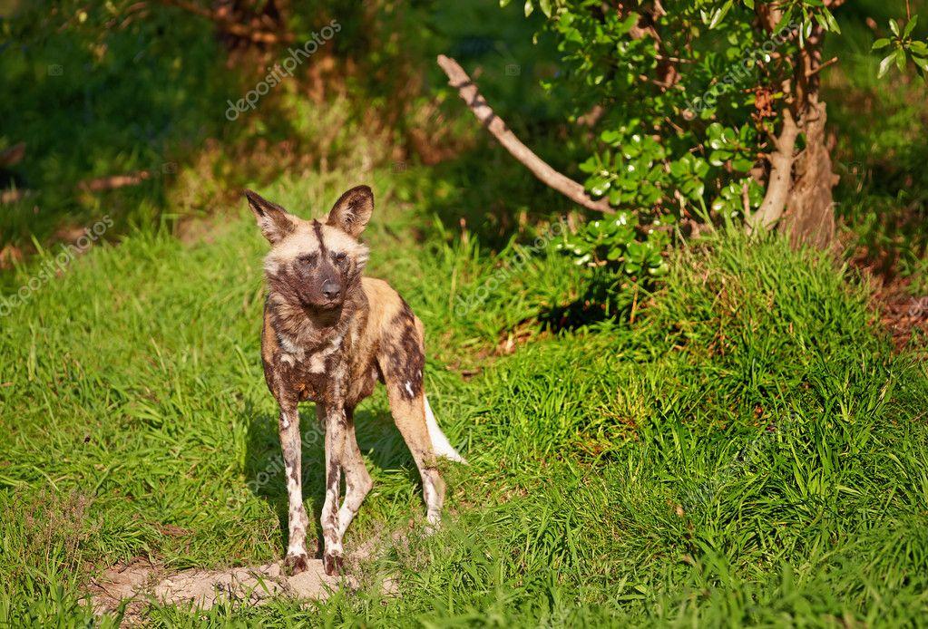 非洲野狗 — 图库照片08dhoxax#8005155