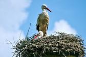 Storks on their nest — Stock Photo