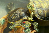 Amphibian turtle. — Stock Photo