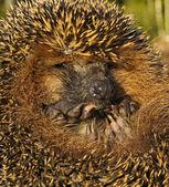 Prickly Hedgehog. — Stock Photo