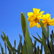 Daffodils. - Stock Photo