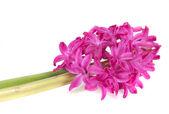 Hyacinth — Stock Photo