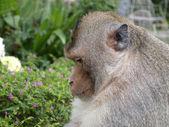 Big monkey — Stock Photo