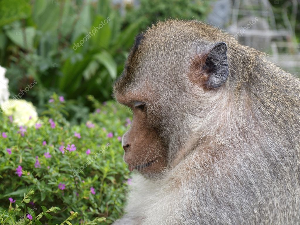 Big Rhesus monkey    — Stock Photo #10387323