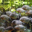 Piranha — Stock Photo #9229320