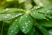 Dew drops on lupine — Stock Photo