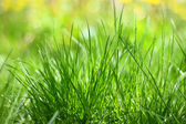 Green grass in the sun lights — Stock Photo