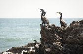 Cormorants Resting — Stock Photo