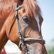 Brown horse portrait at summer — Stock Photo