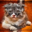 Curious striped scottish fold kitten — Stock Photo