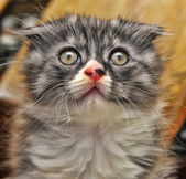 Curious striped scottish fold kitten — Stock Photo
