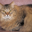 Fluffy Siberian cat — Stock Photo