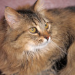 Fluffy Siberian cat — Stock Photo