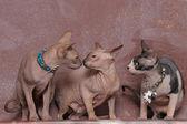три сфинксы — Стоковое фото