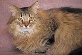 Fluffy Siberian cat — Стоковое фото