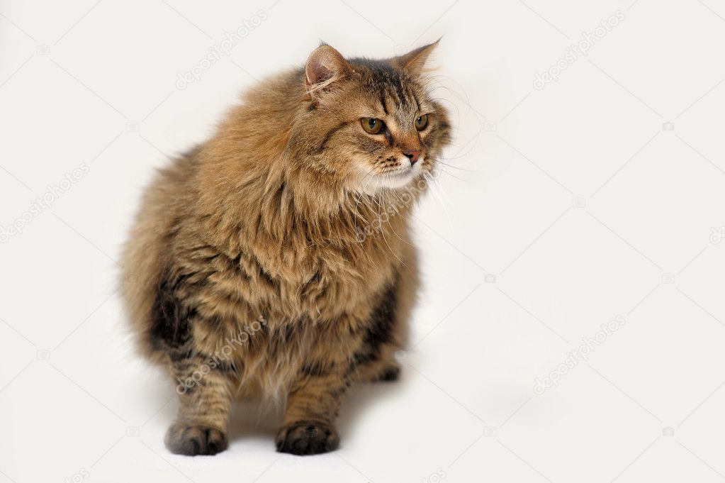 Fluffy Siberian cat   Stock Photo #10562024