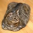 Stock Photo: Partial of tabby cat