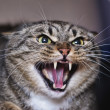 Stock Photo: Angry cat hissing aggressive